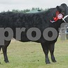 "Commercial Cattle Champion at Black Isle Show 16 ""Bon Bon"" Junior Heifer from J Munro & Son, Invercharron Farm, Ardgay."