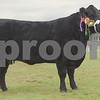 Aberdeen Angus Champion at Black Isle Show 16 Cow from Donald Rankin, Kilmaluag House, Duntulm House, Isle of Skye.
