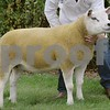 Telex Champion at Black Isle Show 16 Gimmer from Douglas Webster, Lower Reiss Farm, Wick.
