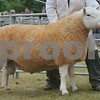 Reserve Sheep Interbreed Champion and Hill Cheviot Champion a Tup from Tina Robertson, Inkstack, Caithness.