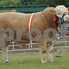 """Male Champion at the Scottish Simmental National Show held at Black Isle Show 16  Junior Bull """"Islavabe Granite"""" from S.Stronach, Berryleys Farm, Grange, Keith."""