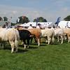B Union bulls