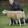 Beltex Champion at Braco Show a Ram Lamb from A.Morton, Lochend Farm, Denny.