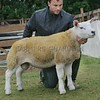 Texel Champion at Braco Show a Ram Lamb from C.Gauld, Cairn Farm, Auchterarder