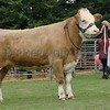 Simmental Champion at Braco Show from TA & E Henderson,Dargill Farm, Dargill, Crieff