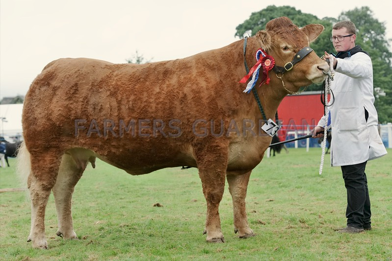 Limousin Champion at Braco Show from Graham, Burnbank.