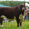 Inter-breed champion, Hereford bull Normanton 1 Leartes from the Livesey Family.