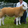 Reserve inter-breed sheep champion a Texel ewe lamb from P and L Phillips.