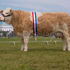 The interbreed beef champion, Simmental cow Diranean Kitty 2nd from D. A. and L. A. Sapsed of Codicote, Hitchin, Hertfordshire.