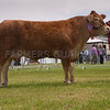 The reserve interbreed beef champion, Limousin heifer Dinmore Elegance from P. R. Dawes of Dinmore, Herefordshire.