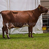 The Dairy Shorthorn champion, Earlsgift Cactus from E. and M. Crank of Ince, Chester, Cheshire.