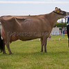 The interbreed dairy champion, Jersey Fourcrosses Big Show Nona from M. E. and A. W. Wright of Pixall, Stafford, Staffordshire.