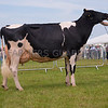 The reserve interbreed dairy champion, Holstein  Riverdane LPT Molly from Susan Nutsford of Byley, Middlewich, Cheshire.
