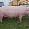The interbreed pig champion, Landrace sow Sunrise Vega 2087 from Richardson and Wood of Sale, Cheshire.
