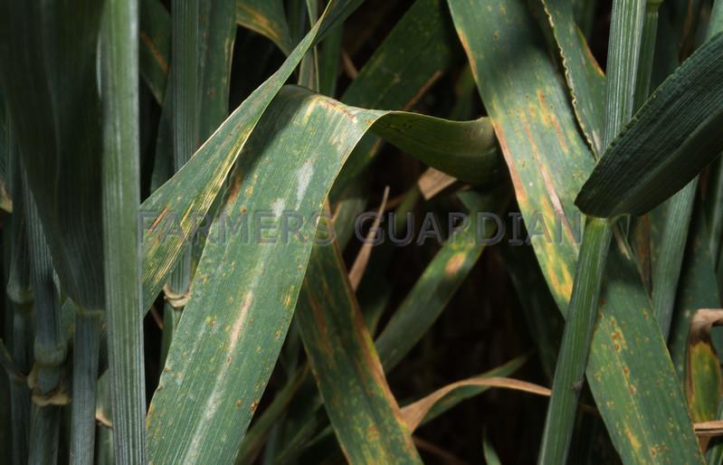 Mildew on wheat.