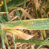 Brown rust and septoria on wheat.
