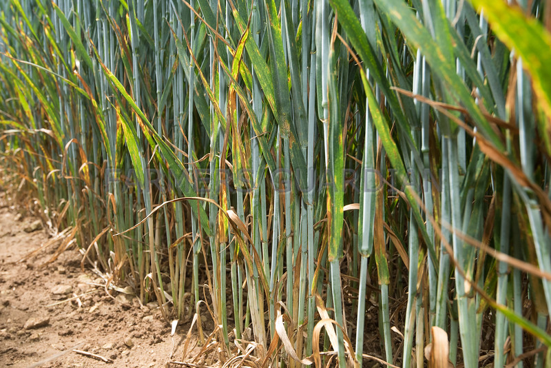 Unsprayed wheat.