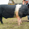 Inter-breed pig champion Coal Yeat Peterbilt a boar from Mr John Sutcliffe.