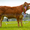 Junior Beef champion Limousin junior heifer Dinmore Magdalene from Mr Paul Dawes.