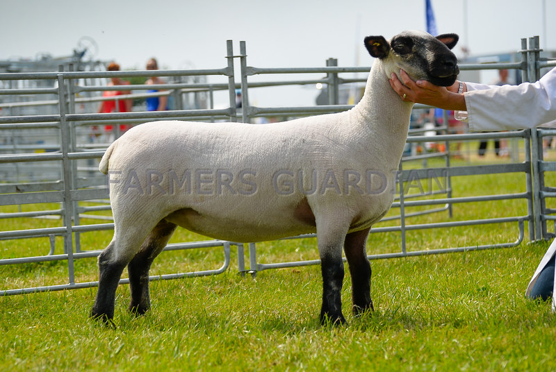 Reserve Inter-breed sheep was a Hampshire Down yearling ewe from Stephen and Stephanie Percival, Monyash.