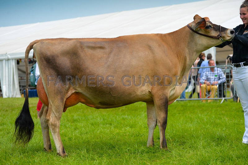 Inter-breed Dairy champion Jersey heifer in milk RapidbayUk Jades Belladonna ET from Miss Ford and Mr J Hudson.