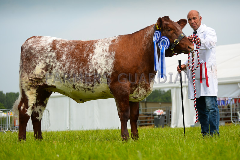 Reserve inter-breed beef champion Dinmore Zoe Katrina from Mr Paul Dawes.