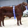 The Supreme Champion Commercial Beef, Nigel & Liz Bunkum's Limousin cross steer Chocolate.