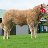 The Baby Beef champion, Limousin cross Sexy and I Know It from Miss J. Hyslop
