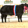 The beef champion, a British Blue  cross  from Mrs. M. Alford.
