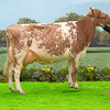 The Dairy Shorthorn Champion, Marleycote Princess Jill 31 from Mclean Family of Bushmills, Co Antrim.