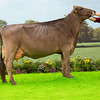 The Brown Swiss champion, Kedar TD Reia from T. Lochhead and Sons of Mouswald, Dumfries.