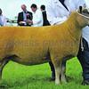 Denbigh Sheep res 7498