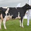 Denbigh Holstein