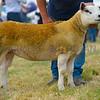 Lowland breed champion a Texel ewe lamb from I.P. Jones.