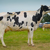 Reserve inter-breed dairy champion Rhual Maximum from J and A Booth.