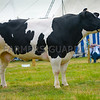 Inter-breed beef champion British Blue cow Birdswood Glamour from John Okell.