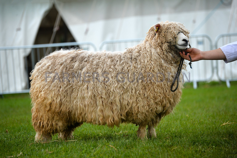 Reserve inter-breed sheep was a Devon and Cornwall Longwool yearling ewe from J.A. Darke.