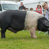 The interbreed pig champion, British Saddleback boar Prestcombe Golden Arrow 14 from Mr. J and Mrs. A Newth.