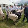 Interbreed sheep judging.
