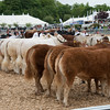 Judging the interbreed group of three beef animals.