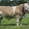 Doune & Dunblane Show 14 Simmental Champion  Bull from MJ & AM Mill, Shawsmill, Cardenden.