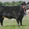 Commercial Cattle Champion at Doune & Dunblane Show from Wilson Peters, Monzie, Crieff