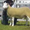 Reserve inter-breed sheep a Berrichon Du Cher ewe from Messrs Cockbain.