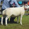 Beltex champion  a ewe lamb from J.L. McMillan.