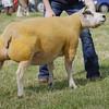 Echt Show 14. Beltex Champion a Ewe from R&K Williams, Upper Tullochbeg, Huntly.