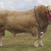Simmental and cattle interbreed champ from W J & J Green, Corskie Farm, Garmouth, Fochabers.