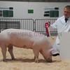 EWF single pig
