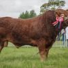 Fife Show Sat 24th May. Limousin Champion  Bull from J.Thomson, Hilton of Beath Farm, Kelty, Fife.