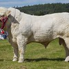 GRANTOWN SHOW 15CHAROLAIS CATTLE CHAMPION