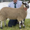 GRANTOWN SHOW 15 SCOTCH MULE AND SHEEP INTERBREED CHAMPION
